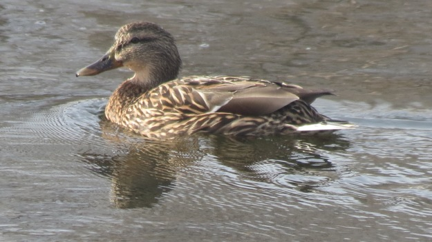 Hen mallard in breeding plumage.