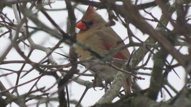 Lady cardinal.