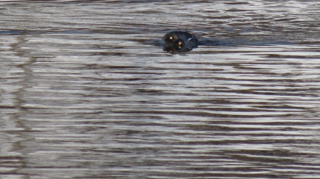 Hen goldeneye in the mood...