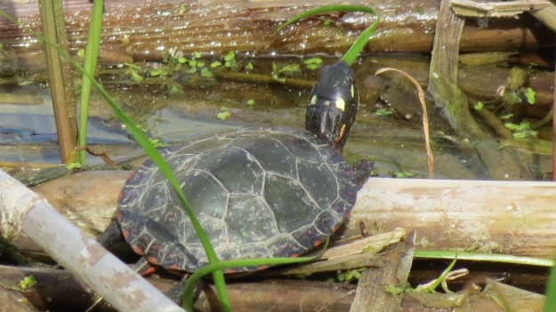 Young painted turtle up close