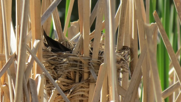 Red-winged blackbird on her nest