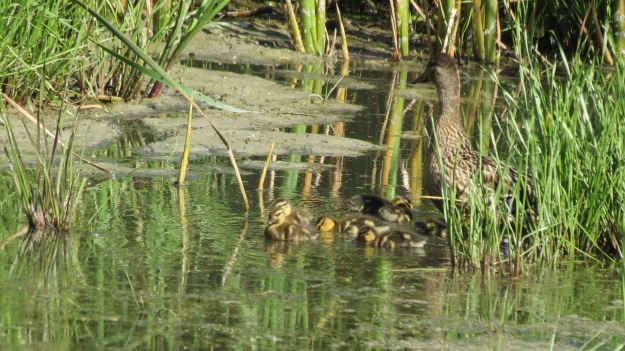 Mallard hen with ducklings