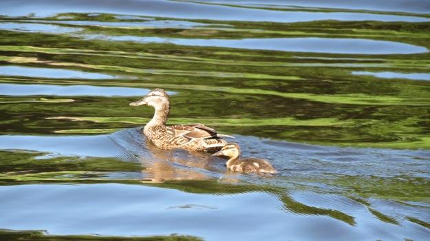 Mallard hen with duckling